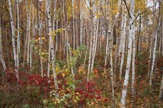 Steve from Eau Claire gave us these pretty birch trees to admire