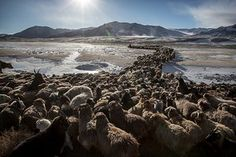 Mongolian nomads' spring migration – in pictures (Tim Allen, The Guardian, 13 May 2016) Caption: The families and their animals head to the spring pastures