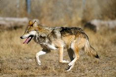Mexican Grey Wolf | © WikiCommons