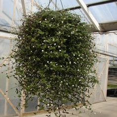 Fantastic Pictures Bridal Veil plant Suggestions Wedding ceremony vogue never ever runs out of tendencies nevertheless a new bridal veil continually Wedding Flower Photos, Bridal Flowers, Small Indoor Plants, Air Plants, Hanging Succulents, Hanging Plants, Hanging Baskets, Bridal Veil Plant, Lawn Care