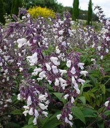 Salvia hybrid Waverley has a stunning display of mauve pink flowers with dark purple sepals in the warmer months of the year. Ideal for perennial borders, Salvias are a riot of colour from spring through to autumn. A good pruning after flo. Hummingbird Habitat, White Flowers, Beautiful Flowers, Drought Tolerant Garden, Garden Shrubs, Plant Needs, Perennials, Planting Flowers, Herbs