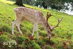 Countrykitty: The day I walked among fallow deer