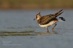 Northern Lapwing - in the sunset - juvenile by ivazelezna via http://ift.tt/2sYmtmM