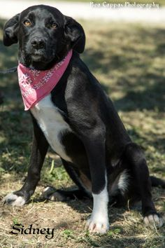 #TEXAS ~ Sidney $40 #ADOPTION SPECIAL!! is a Spayed UTD vaccines Black Labrador Retriever / Border Collie mix - She's ALWAYS happy & her tail never stops wagging! She came w/ 7 littermates she's still waiting for her forever home! She's needs a loving #adopter / #rescue at GONZALES ANIMAL CONTROL  400 CR488 (off FM532 / Moulton Rd) #Gonzales TX 78629 animalcontrol@cityofgonzales.org Ph 830-672-8686