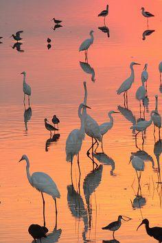 Wading Birds Forage In Colorful Sunset, Bombay Hook National Wildlife Refuge, Delaware