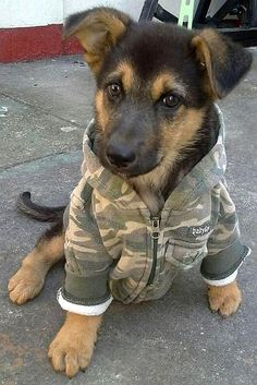 GSD Puppy, ready to go out in the cold.