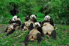 Ça a l'air cool la vie de grand panda même si il n'en reste pas beaucoup
