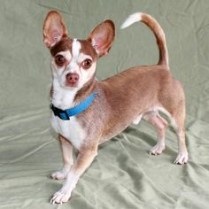 Desi Chihuahua/Dachshund mix, male. He is about 1 year and 3 months old. Housetrained great with other dogs and children. Check out his video too! email diane@ulpr.org
