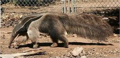 Myrmecophaga tridactyla - Phoenix Zoo - Giant anteater - Wikipedia, the free encyclopedia Giant Anteater, Termite Control, Enjoy The Sunshine, Ants, Mammals, Amphibians, Reptiles, Home Remedies, Animal Pictures