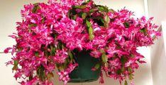 Télen is virágzó szobanövények Cactus Flower, Ranunculus, Houseplants, Succulents, Floral Wreath, Home And Garden, Christmas, Gardening, Balcony