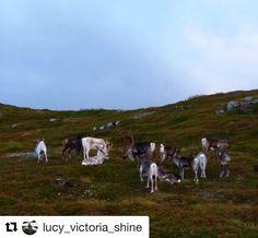 Rudolf og resten av gjengen gjør seg klar for den store dagen. #reiseliv #reiseblogger #reisetips  #Repost @lucy_victoria_shine with @repostapp  Reindeer on one of our Mountains. Relaxing before going to work with santa  #reindeer #santashelpers #mountainhiking #wildlife #landscape #harstad