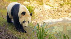 エディンバラ動物園は野生生物に関しては市内最大の人気施設で、珍種や絶滅危惧種を見学し、環境保護の取り組みについて学べます。