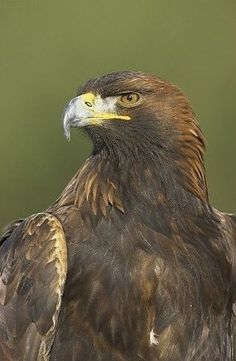 Golden Eagle, Cairngorms National Park, Scotland. Photographic Print ...