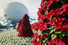 The holiday season is in full swing at Walt Disney World Resort. Garland is hung, lights are shining bright, choirs are singing and back in 1994 poinsettia trees were blooming at the entrance to Epcot as seen below. Disney World Resorts, Walt Disney World, Disney Eras, Disney Disney, Mickey's Very Merry Christmas, Christmas Trees, Christmas Holidays, Poinsettia Tree, Disney World Christmas