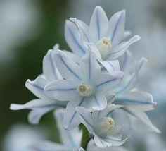 Preparare la primavera con i bulbi: Puschkinia libanotica