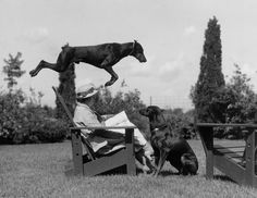Leaping skills make Doberman pinschers into great police dogs. Rushville, Indiana, December 1941.Photograph by Willard Culver, National Geographic