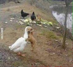 Jak pies z gęsią #przyjaźń #pies #gęś