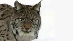 Ilves. Kuvakaappaus ohjelmasta Ekolokero. Cats, Animals, Gatos, Animales, Animaux, Animal, Cat, Animais, Kitty