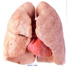Real Healthy Human Lungs RHH10