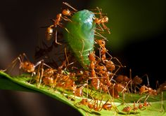 Robert Cabagnot - Persistence and adaptability. Ants working together to bring down a cocoon to replenish their food supply for the colony. Coron, Palawan, Philippines.
