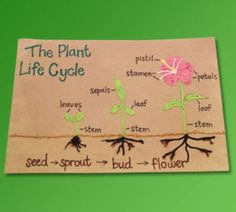 This is simply another way to show the plant life cycle to students. I could either make this myself and put it up around the room, or have students individually make their own visual of the cycle. This is a very helpful representation of the 4 sections.