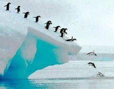Adelie penguin group dive, Antarctic Peninsula