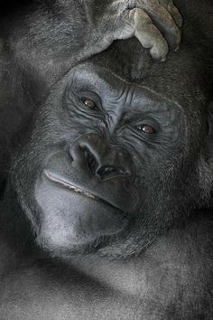 Goodnight Kiss I Love This Monkeys And Gorillas Are My All Time