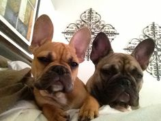 Itchy & Scratchy, 2 French Bulldog Puppies that are insuperable ; }