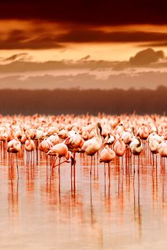 Its spectacular beauty, saltwater lake, concentrated game drives and excellent wildlife viewing opportunities makes Lake Nakuru different from most. Lake Nakuru National Park (Kenya) and Lake Natron National Park (Tanzania) are quite similar in terms of the experience they have to offer due to the simple reason that a saltwater lake covers two-thirds of the park, making it easy for you to spot the area's wildlife, and also because of the millions of flamingos that visit both lakes.