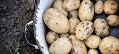 Learn about growing new potatoes from the experts at DIY Network. Irish Potatoes, Red Skin, Poisonous Plants, Raised Planter, Diy Network, Natural Sugar, Small Plants, Harvest, Health Fitness