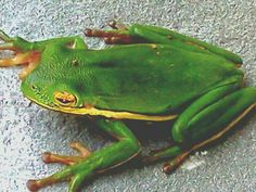 green tree frog...on the house