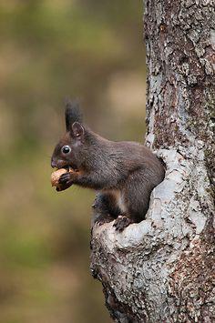 scoiattolo (Sciurus vulgaris) by Michele Martinelli, via Flickr