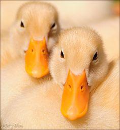 Beautiful Ducklings