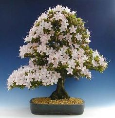 JPB:Bonsai Collection 7 | さつき | Rododendro Bonsai