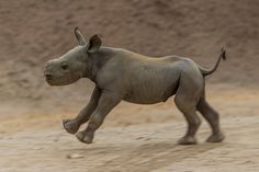 WATCH: Critically Endangered Black #Rhino Calf Hits the Ground Running