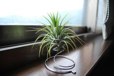 Tillandsia in coiled wire holder  #air_plant #houseplant