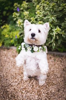 Bridal hair accessories in Nottingham, individually designed bridal hair pins, vines, headpieces and floral accessories. Married In Vegas, White Terrier, Dog Birthday, White Dogs, Dog Bowtie, Bridal Hair Accessories, Westies, Beautiful Dogs, Animal Photography