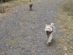 Foxterrier Bonnie with Winnie (Welshi) following