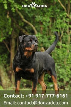 """Awesome """"rottweiler puppies""""xx detail is offered on our internet site. Check it out and you wont be sorry you did Big Dogs, I Love Dogs, Cute Dogs, Dogs And Puppies, Rottweiler Training, Rottweiler Puppies, Beagle, German Rottweiler, German Dog Breeds"""