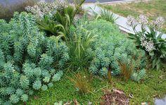 Euphorbia glaucoma Plants, Aloe, Euphorbia, Front Garden, Garden