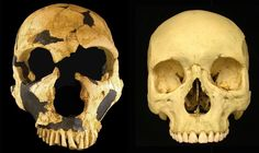 Comparison of a Neanderthal skull (left) with that of a <i>Homo sapiens</i> (Credit: Nathan Holton)