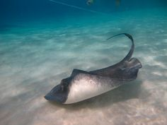 Stringray - From Stingray City in Cayman Islands