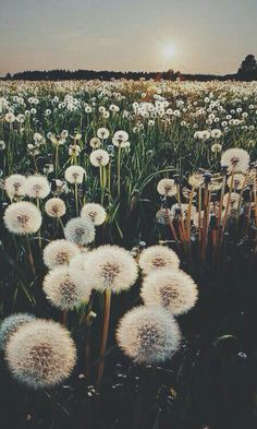 Beauty...#dandelions #summer