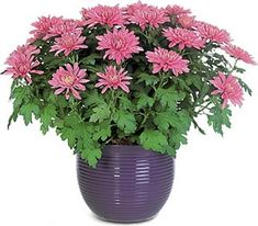 Chrysanthemum Morifolium, loves direct sunlight and a medium amount of water. These blooms not only help brighten the room, they also help cleanse the air of formaldehyde, xylene, ammonia, benzene, toluene, and trichloroethylene but is poisonous to animals.