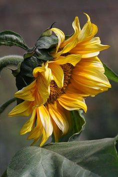 Sunflower~ The color and lighting of this one is eye catching!