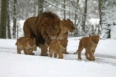 Lion family in snow!