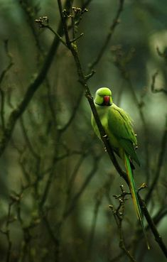 Rose-ringed or Ringnecked parakeet...beautiful picture