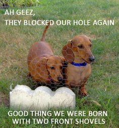 We have three dogs, one of which is a doxie (my baby) and she is the only one who we don't have a problem with digging in the back yard or flower beds!! lol