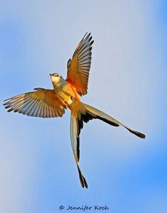 Scissor tailed fly catcher, TX