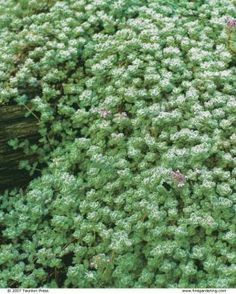 Woolly thymes prefer dry climates and good air circulation. Their fuzzy, gray foliage makes an attractive carpet creeping over a dark-stained railroad tie. Wooly Thyme, Creeping Thyme, Landscaping A Slope, Ranch Exterior, Fine Gardening, Ground Cover Plants, Plant Wall, Companion Planting